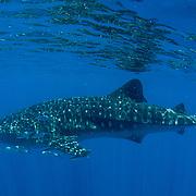 Whale shark (Rhincodon typus) with surface reflection and rainbow runner (Elagatis bipinnulata), Honda Bay, Palawan, the Philippines, Sulu Sea