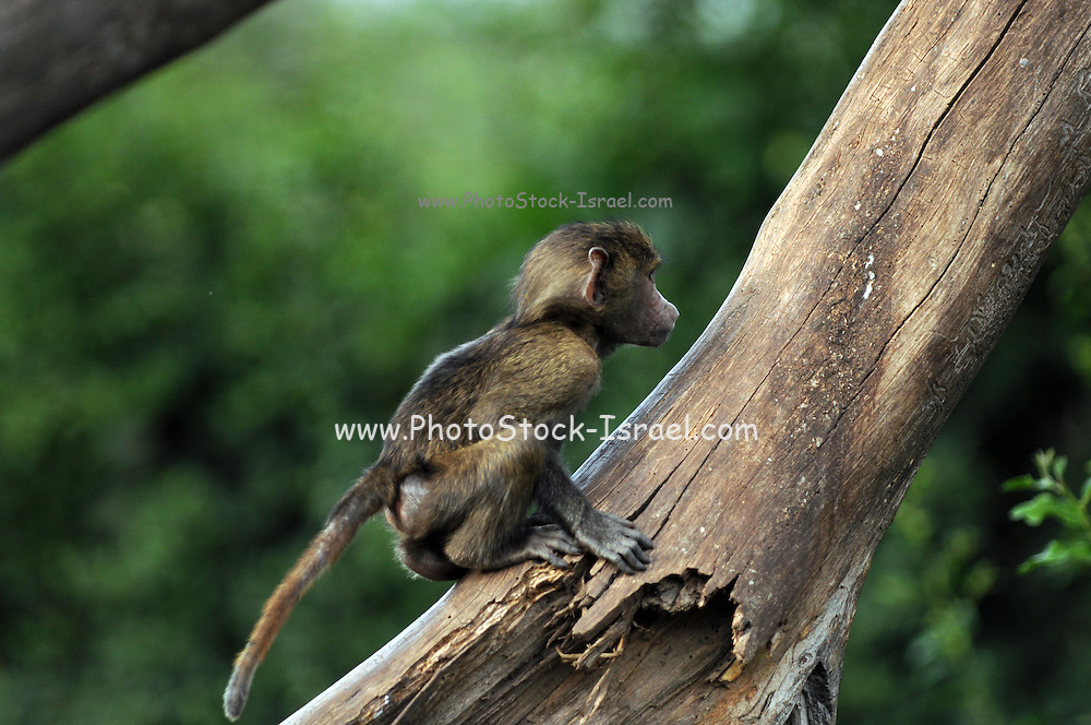Juvenile Olive Baboon (Papio anubis), also called the Anubis Baboon photographed in Africa, Tanzania, Serengeti National Park