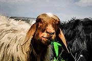 Illustration of sheep Portrait