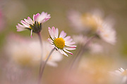 A field of wild white and yellow Southern Daisy (Bellis sylvestris) flowers in spring