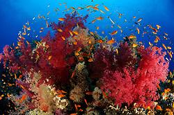 klunzingeris soft corals, Dendronephthya klunzingeri, and Lyratail anthias, Pseudanthias squamipinnis, South Egypt, Red Sea