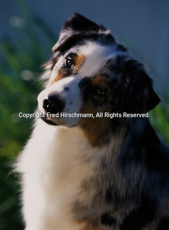 """Australian Shepherd, AKC, 3-year-old """"Kelly"""" photographed in Kalamazoo, Michigan and owned by Sylvia Bunn of Marshall, Michigan.  (PR)"""