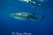 whale shark ( Rhincodon typus ), Kona Coast of Hawaii Island ( the Big Island ) Hawaiian Islands, USA ( Central Pacific Ocean )