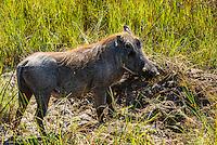 Warthog, Kwara Camp, Okavango Delta, Botswana.