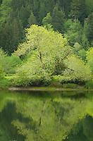 Lush spring foliage along the North Fork Smith River Oregon
