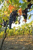 Sangiovese grapes hang ready for harvest, Chianti region in Tuscany, Italy