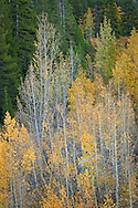 Aspen trees in fall, Mineral King, Sequoia National Park, California