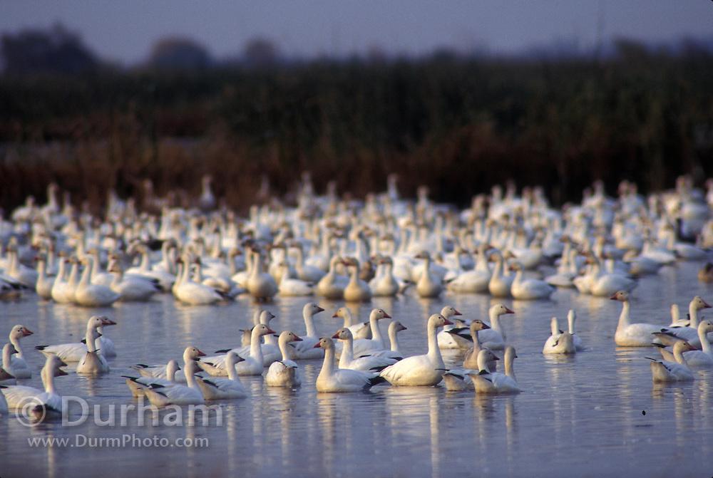 Snow geese (Chen caerulescens) in the Klamath Basin National Wildlife Refuge, California.