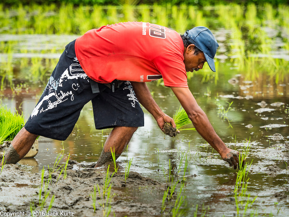 18 JULY 2016 - UBUD, BALI, INDONESIA:    A farmer plants rice in a field near Ubud. Rice is an integral part of the Balinese culture. The rituals of the cycle of planting, maintaining, irrigating, and harvesting rice enrich the cultural life of Bali beyond a single staple can ever hope to do. Despite the importance of rice, Bali does not produce enough rice for its own needs and imports rice from nearby Thailand.    PHOTO BY JACK KURTZ