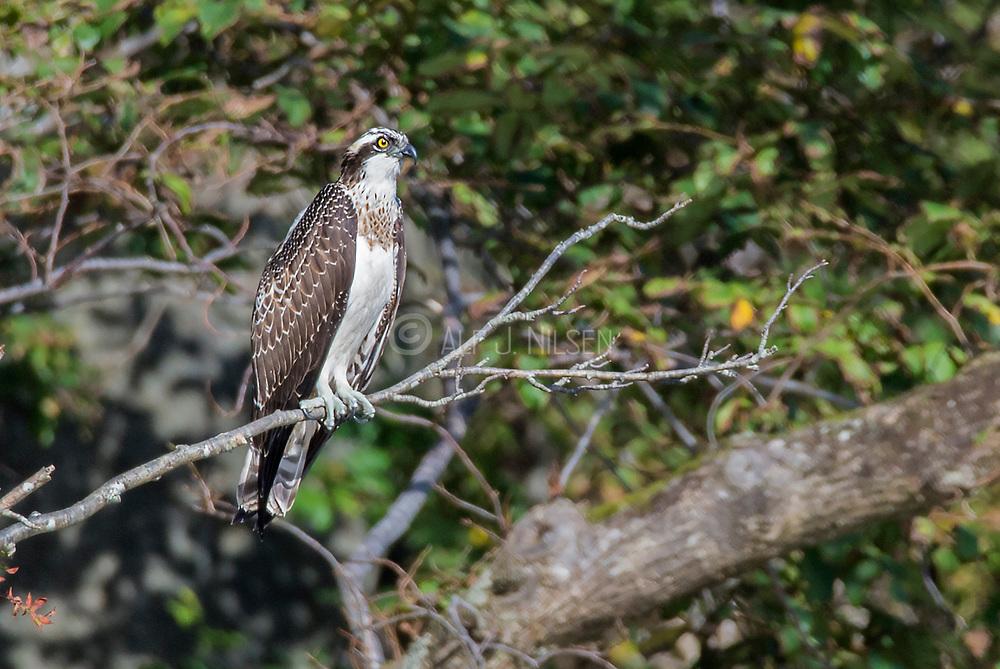 Osprey (Pandion haliaetus) from Hidra, south-western Norway in September.