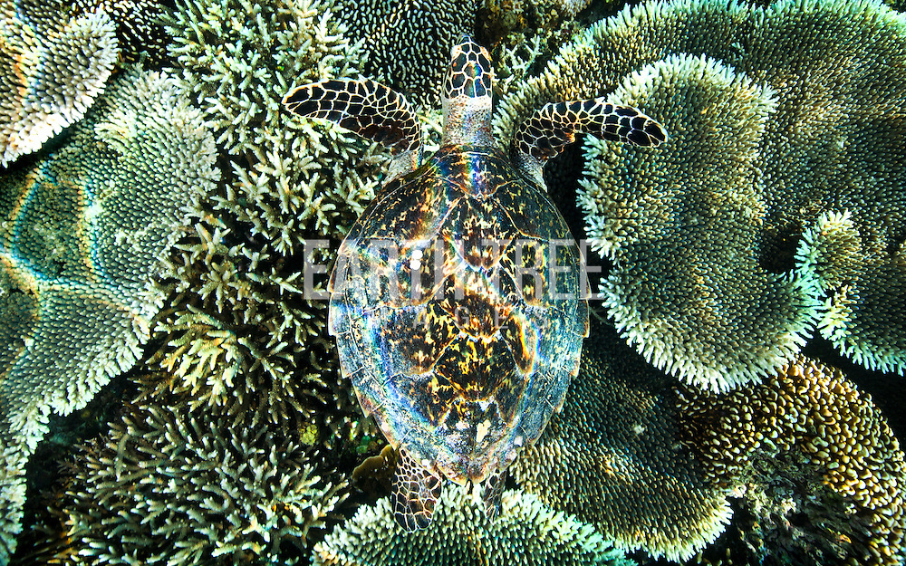 A Hawksbill sea turtle (Eretmochelys imbricata) swims over a coral head in the Komodo National Park, Flores, Indonesia. Hawksbill turtles are particulary threatened by the wildlife trade. They are sought after throughout the tropics for their beautiful brown and yellow carapace plates that are manufactured into tortoiseshell items for jewellery and ornaments. In recent decades, eastern Asia has provided an eager market for tortoiseshell. Despite their current protection under CITES and many national laws, there is still a disturbingly large amount of illegal trade in hawksbill shells and products. Photo: Paul Hilton for Earth Tree