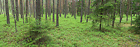 Coniferous forest in spring, near Vilnius, Lithuania. Mission: Lithuania, May 2009.