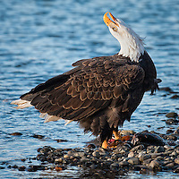 A mature bald eagles lets out a call announcing it's prize - a salmon catch. © November 2010, Jak Wonderly.