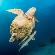 Loggerhead sea turtle (caretta caretta) with remora fish (Echeneididae) attached. Bahamas
