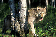 Timber or Grey Wolf, Canis Lupus,  Minnesota USA, controlled situation, standing in woodland, looking at camera