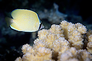 Chaetodon citrinellus (Speckled butterflyfish)