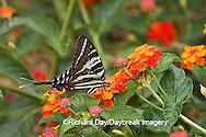 03006-002.17 Zebra Swallowtail (Eurytides marcellus) on Red Spread Lantana (Lantana camara) Marion Co.  IL