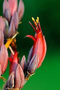 Phormium (Phormium tenax) close-up of flowers on flower spike, growing in garden, Oxfordshire, UK.