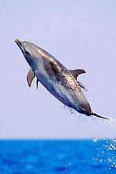 Pantropical Spotted Dolphin, Stenella attenuata, juvenile, jumping, off Kona Coast, Big Island, Hawaii, Pacific Ocean