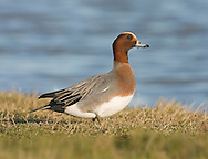 Wigeon - Mareca penelope - male