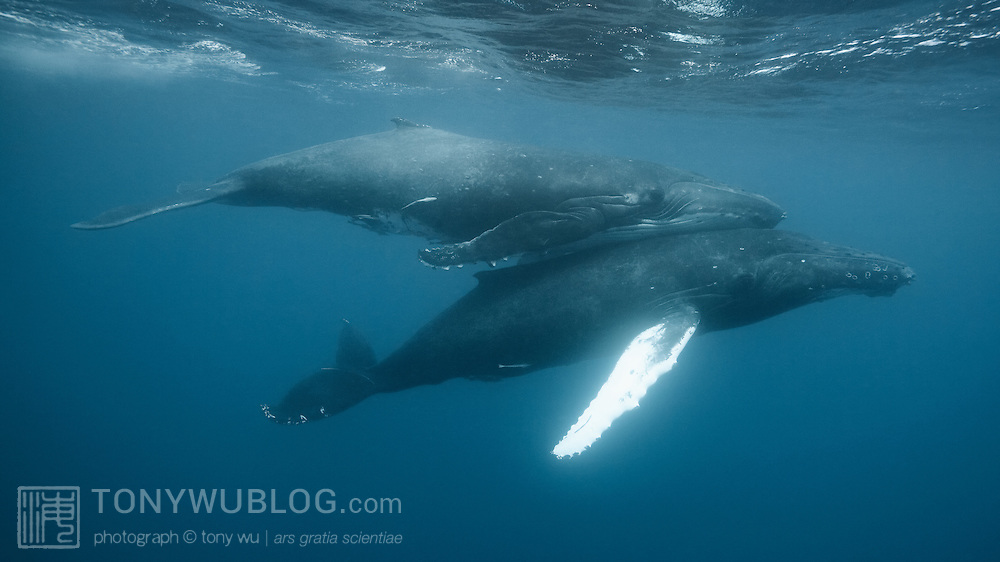 Intimate contact between two humpback whales (Megaptera novaeangliae) engaged in courtship. The whale with the white pectoral fin is the male, the female on top. Such physical contact characterized this extended encounter with these two whales. One or both of the whales also made low, gurgling sounds that came across as lovey-dovey sounds, for lack of a better term.