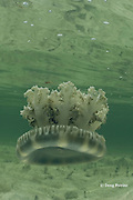 mangrove upsidedown jelly or upside-down jellyfish, Cassiopea xamachana, harbors symbiotic algae ( zooxanthellae ) which produce food through photosynthesis when exposed to sunlight, Sandy Point, Great Abaco, Abaco Islands, Bahamas ( Western Atlantic Ocean )