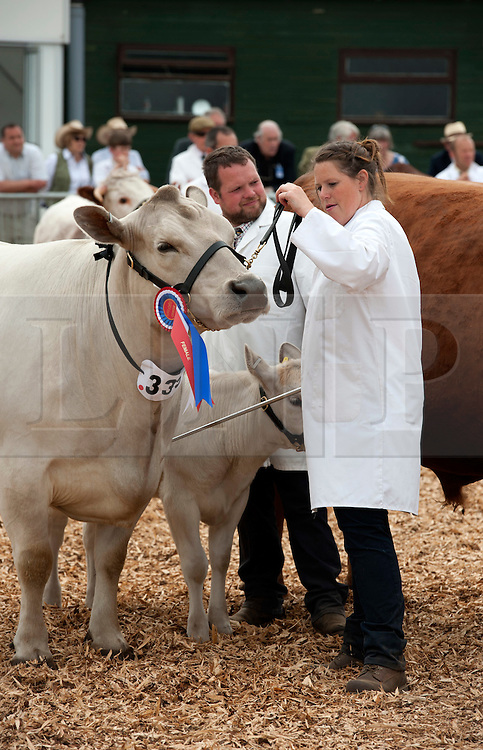 © Licensed to London News Pictures. 27/05/2015. Shepton Mallet, Somerset, UK.  Beef cattle are paraded for judging at the Royal Bath & West Show.  Double winner of the Exhibitor Bred Beef Cattle Championship and Beef Individual Supreme Championship, a Murray Grey breed cow named Ashrose Rita 15th age 7 yrs (with a calf) with Gill Finucane (daughter of owner Wendy Finucane, who is manager of the herd Otter & Co from Carmarthen.  It's only the second time in 40 years that a Murray Grey breed has won any championship in the UK.  The breed was developed in Australia.  Photo credit : Simon Chapman/LNP