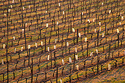 vineyard in early morning chateau pey la tour bordeaux france