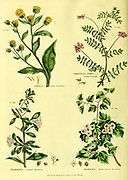 Conyza [Great Fleabane] Coronillia varia [Purple Coronilla] Crataegus [Cockspur Hawthorn] Crataegus [Maple-leaved Hawthorn] from Vol 1 of the book The universal herbal : or botanical, medical and agricultural dictionary : containing an account of all known plants in the world, arranged according to the Linnean system. Specifying the uses to which they are or may be applied By Thomas Green,  Published in 1816 by Nuttall, Fisher & Co. in Liverpool and Printed at the Caxton Press by H. Fisher