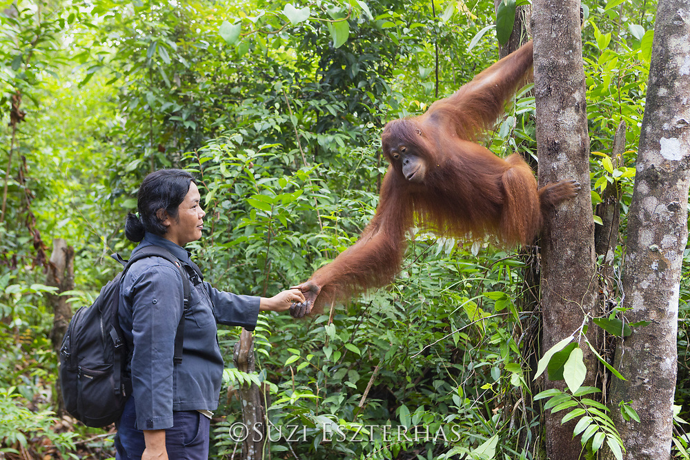 Bornean Orangutan<br /> Pongo pygmaeus<br /> Caretaker with orphaned juvenile (approx. 5 years old) in forest during forest exploration and training program<br /> Orangutan Foundation International's Orangutan Care Center, Borneo, Indonesia<br /> *Model release available