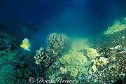 longnose butterflyfish, Forcipiger longirostris, <br /> feeds on spawning cauliflower coral, Pocillopora meandrina, <br /> Honokohau, Kona, Hawaii, USA ( Pacific )