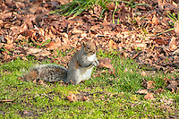 An eastern gray squirrel forages among last Fall's leaves on a cold winter morning in Western Washington.