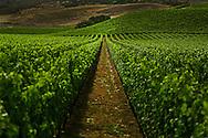 Fiddlestix Vineyard in the Santa Rita Hills