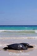 Eastern Pacific green (black) sea turtles, Chelonia mydas agassizi, basking on beach, Floreana, Galapagos <br /> Islands, Ecuador ( Eastern Pacific Ocean )
