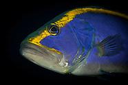 Aulacocephalus temmincki (Gold-ribbon grouper)