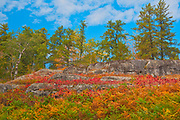 Sumac in autumn at edge of boreal forest<br />