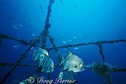 Atlantic spadefish, Chaetodipterus faber, wreck of the Blue Fire, Miami, Florida ( Western Atlantic Ocean )