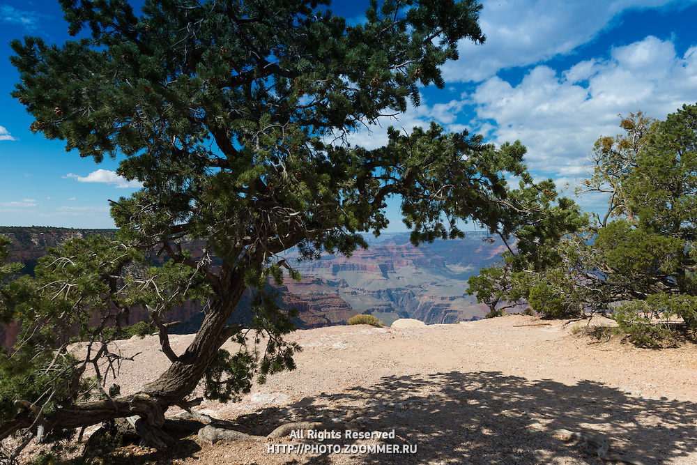 Grand Canyon South Rim Tree, Arizona