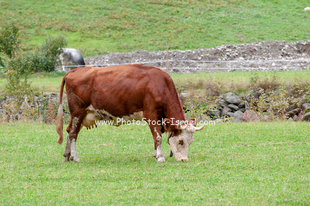 Tyrolean Brown Cow without horns grazing in a mountain pasture, Stubai Valley, Tyrol, Austria
