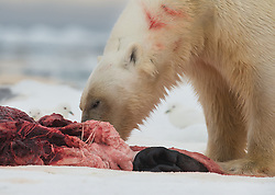 Polar bear (Ursus maritimus) with Ivory gulls watching the meal. In the drifting ice northeast of Svalbard, Norway