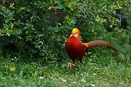 Male Golden pheasant, Chrysolophus pictus, walking on grass through Yangxian Biosphere Reserve, Shaanxi, China