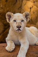 2 month old white lion cub, Lion Park, near Johannesburg, South Africa.