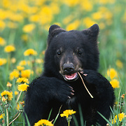 Black bear (Ursus americanus) sitting in a field of dandelions, chewing on one, during springtime in Montana. Captive Animal