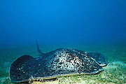marbled, blotched, black-spotted or round ribbontail ray, Taeniura meyeni ( melanospilos ), on sand flat next to wreck of the Yongala, Queensland, Australia