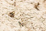 Ruby-tailed wasp (Chrysis viridula?) stalking mason wasp (Odynerus spinipes) nest burrows. Dorset, UK.