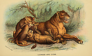 Lioness and cubs (Panthera leo Here as Felis leo)) From the book ' A handbook to the carnivora : part 1 : cats, civets, and mongooses ' by Richard Lydekker, 1849-1915 Published in 1896 in London by E. Lloyd