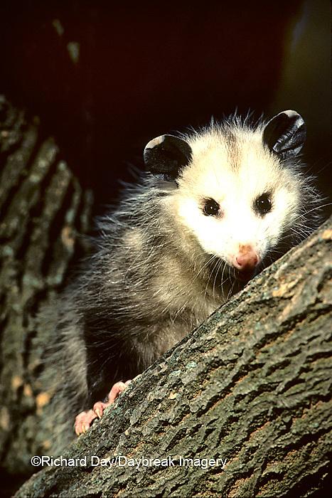 01750-00212 Virginia Opossum (Didelphis virginiana)    IL