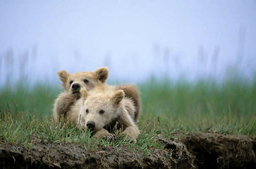 Alaskan Brown Bear, (Ursus middendorffi) Two young cubs resting in grass, Katmai National Park. Alaska.