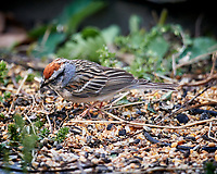Chipping Sparrow. Image taken with a Nikon D5 camera and 600 mm f/4 VR lens (ISO 200, 600 mm, f/4, 1/400 sec).