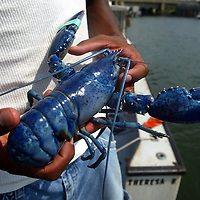(PMONMOUTH)  Belmar 7/30/2002  A rare sky blue lobster caught aboard the lobster boat Theresa.  Capt Dave Basselini of Belmar and Mike Williams Asbury cuahgt the lobster about 25 mile offshore in a area northwest of teh Glory Hole ( a fishing area).  It will eventually go to a aquarium.   Michael J> Treola Staff Photograper.....MJT